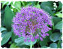 Purple allium picture