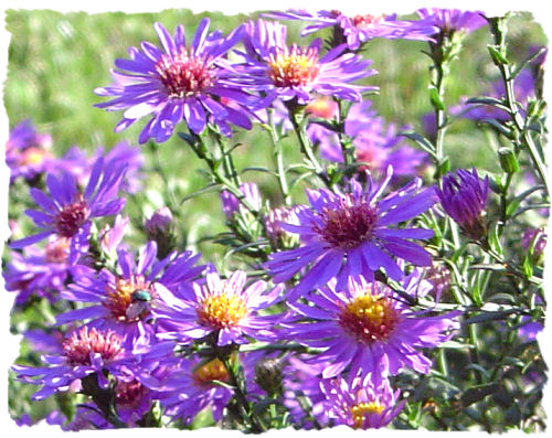 purple aster picture, Beautiful flower
