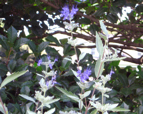 Purple caryopteris picture