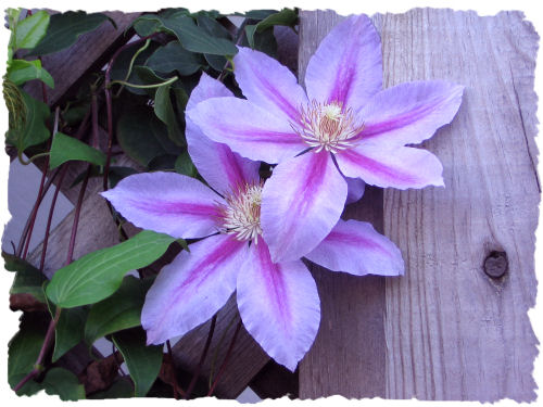 Purple clematis picture