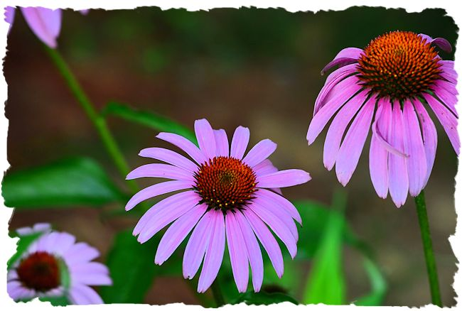 Purple coneflower picture