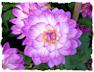 Purple dahlia picture