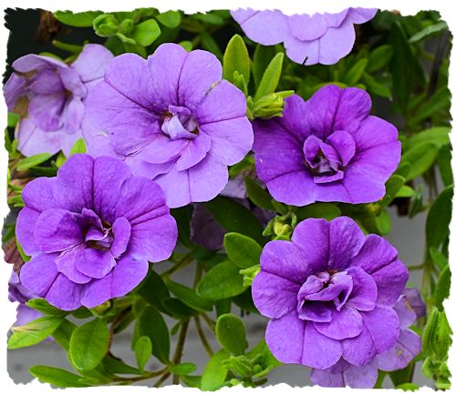 Double blooming purple million bells picture