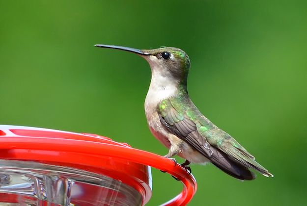 Female hummingbird at feeder picture