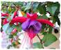 Purple fuchsia picture