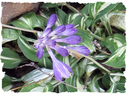 Purple hosta picture