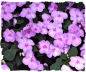 Purple impatiens picture