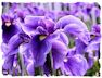 Purple iris picture