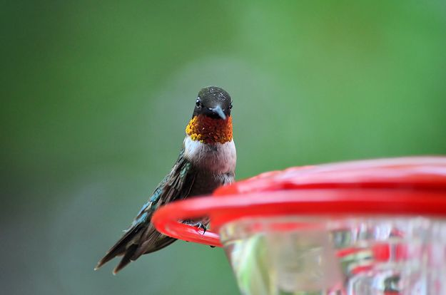 Male hummingbird picture
