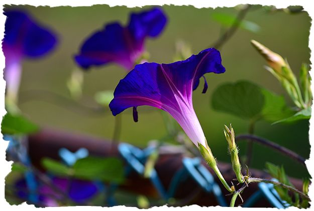 Purple morning glory picture