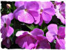 New Guinea impatiens picture