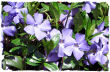 Periwinkle picture