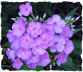 Purple phlox picture