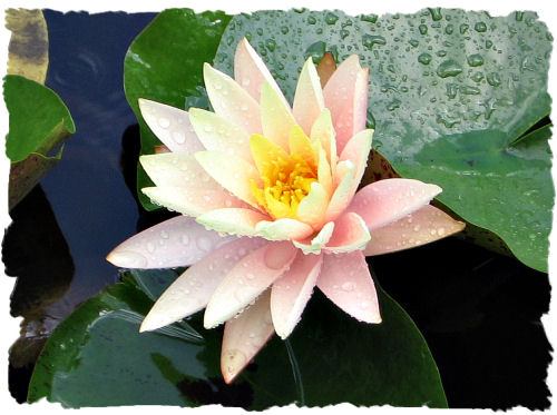 Pink water lily picture