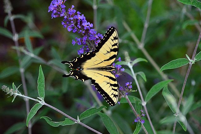Purple Butterfly Bush Picture