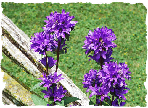 Purple clustered bellflower picture