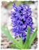 Purple hyacinth picture