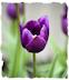 Purple tulip picture