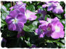 Purple vinca picture
