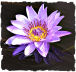 Purple water lily picture