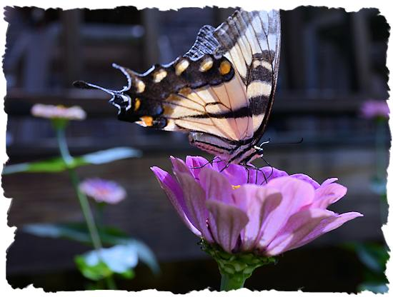 Purple zinnia and buttefly picture