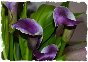 Purple wedding flowers calla lily picture