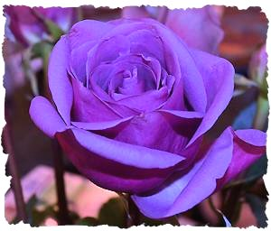 Purple wedding flowers rose picture