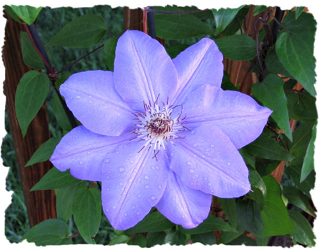 Purple Ramona clematis picture