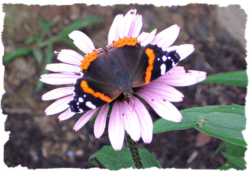 Red admiral butterfly picture