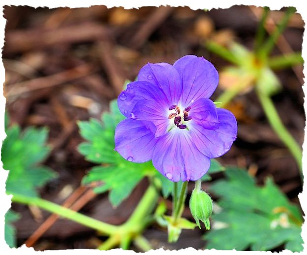 Purple geranium 'Rozanne' picture