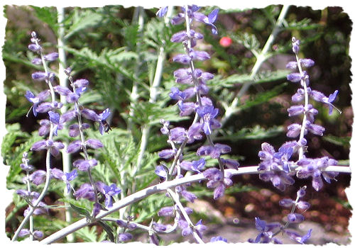 Purple Russian sage picture