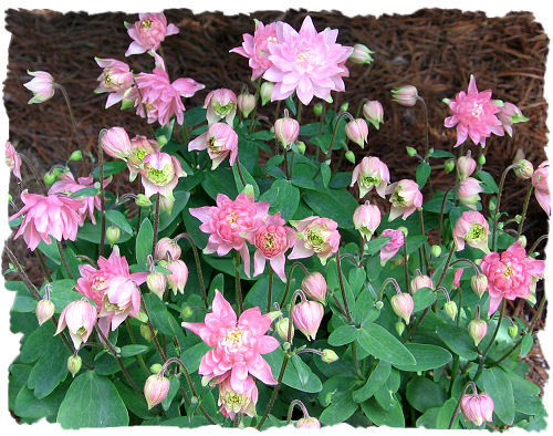 Clementine salmon rose - Columbine picture