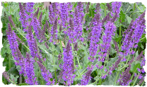 Purple salvia picture