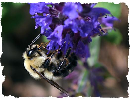 Black and blue salvia and bumble bee picture
