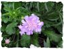 Purple scabiosa picture