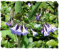 Virginia bluebells picture