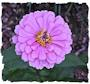 Purple zinnia picture